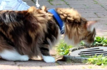 How To Train Your Maine Coon To Walk On A Lead