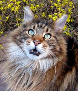 Maine Coon meow