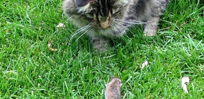 Maine Coon mouse mouser