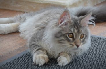 Unique Maine Coon Health Issues – Polycystic Kidney Disease (PKD)