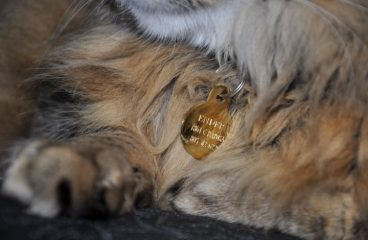 Keeping Your Maine Coon Safe and Secure