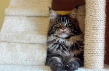 How To Keep Your Maine Coon From Scratching Furniture