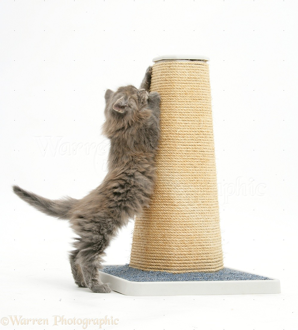 Maine Coon Scratching post