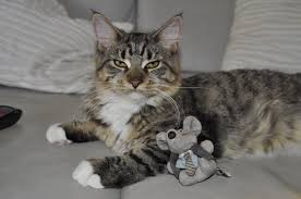 Maine Coon and toy mouse