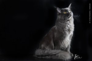 maine coon blue solid