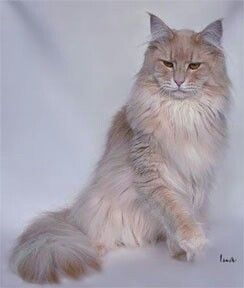 The Cream Maine Coon - Maine Coon Expert