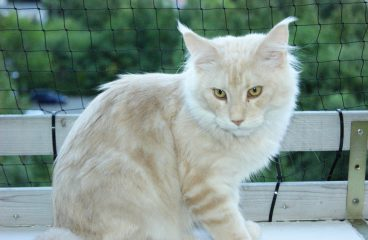 The Cream Maine Coon