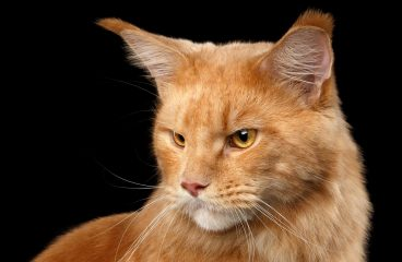 The Ginger Maine Coon