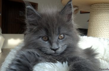 The Blue Maine Coon