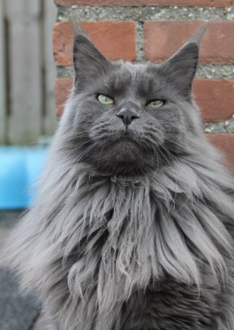 Maine Coon blue