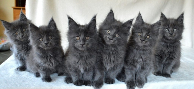 Maine Coon blue kittens
