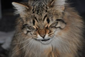 Maine Coon allergy