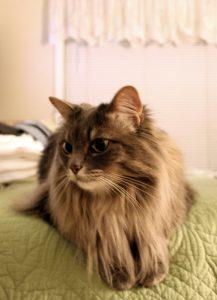 maine coon hypoallergenic cat