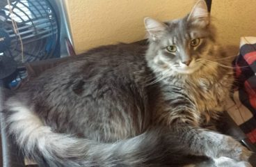 How To Tell If Your Maine Coon Cat is a Purebred or Mix