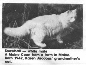 white maine coon snowball