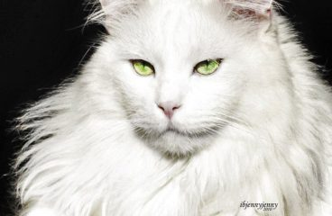 The White Maine Coon