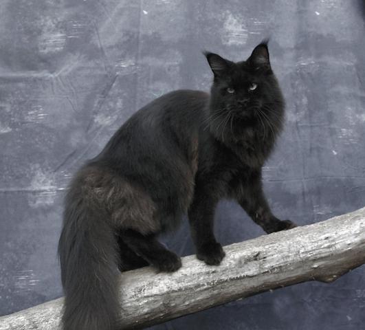 Black Maine Coon