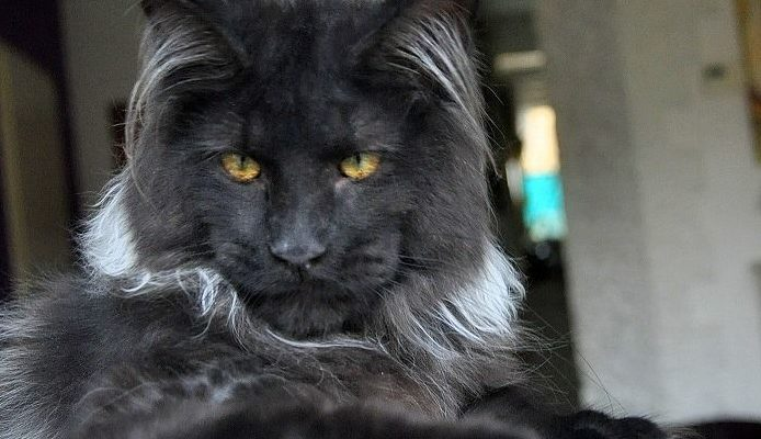 The Black Maine Coon - Maine Coon Expert