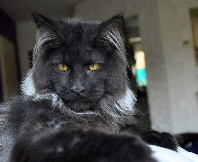 Tribe of Jagged Stones Sign-ups! Black-maine-coon-fi-e1538743210183