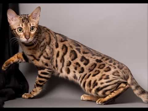 maine coon bengal mix spotted