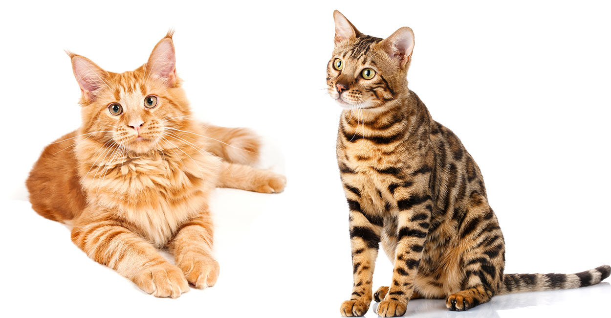 maine coon bengal mix adult