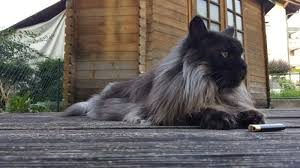Maine coon weight