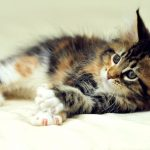 The Weight Range For Maine Coons - What You Need To Know