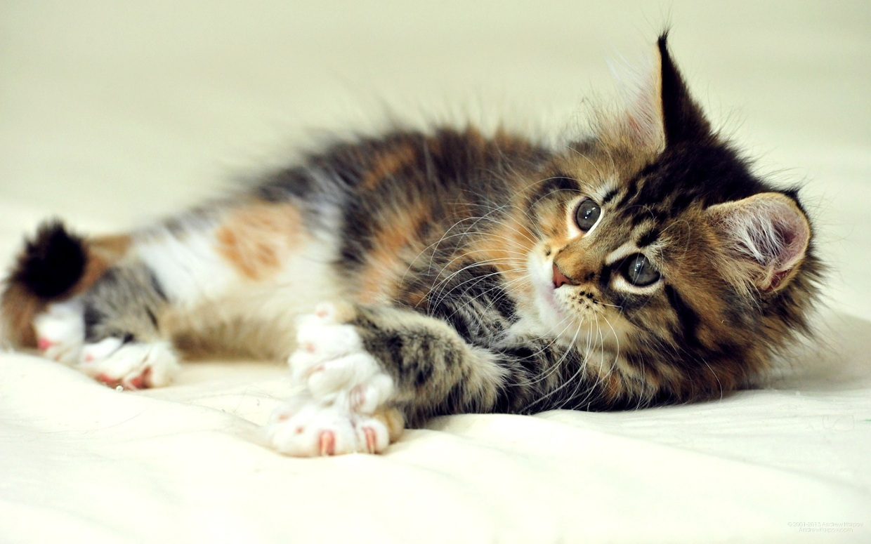 The Weight Range For Maine Coons What You Need To Know Maine Coon Expert