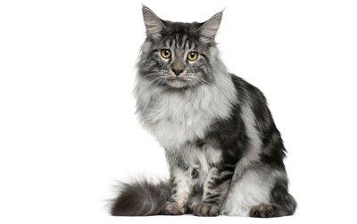 maine coon characteristics kitten