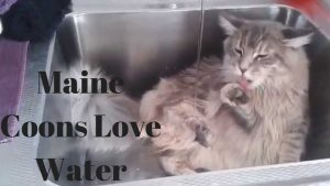 Maine coon water sink
