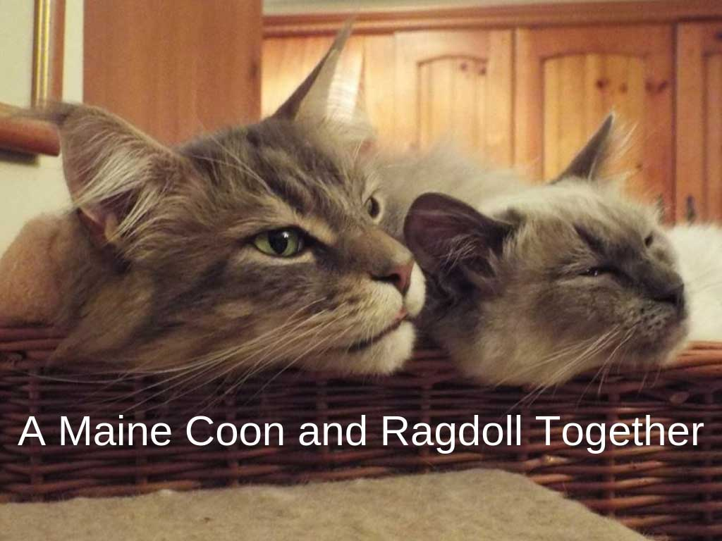 Maine Coon and Ragdoll in basket