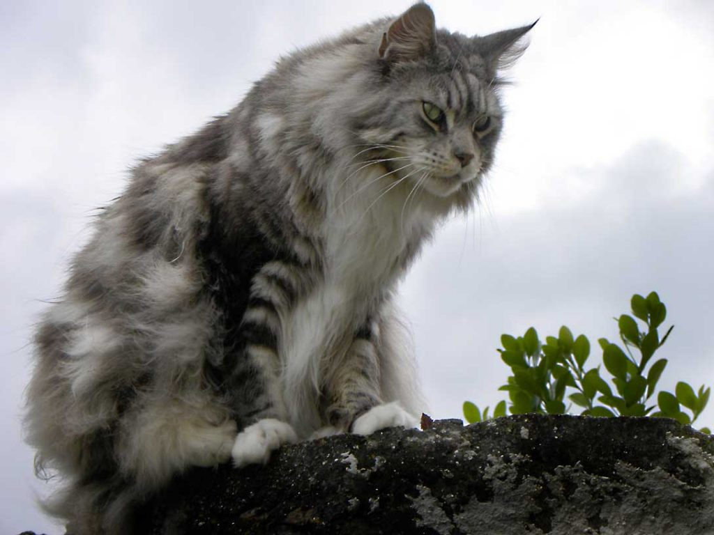 Maine coon sitting on a rock