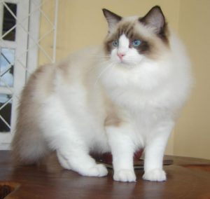 Side view of a Ragdoll