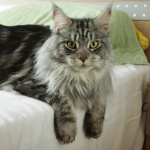 Maine Coon Cat - A Buyers and Owners Guide With Breed Information, Buying Advice and Facts