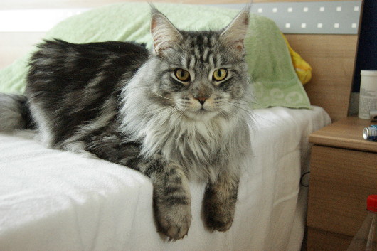 Maine Coon cat on bed