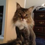 The Maine Coon Lion Cut – Pros and Cons