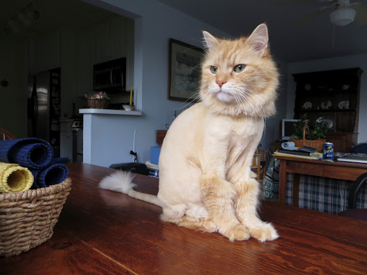 Maine coon lion cut