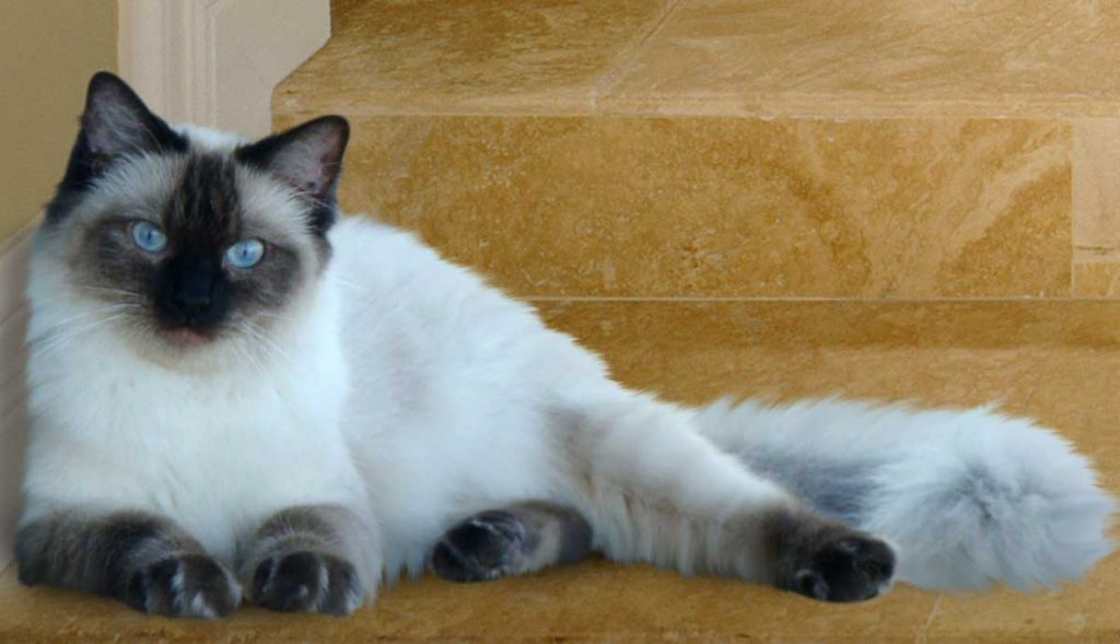 Ragdoll lying down at bottom of stairs