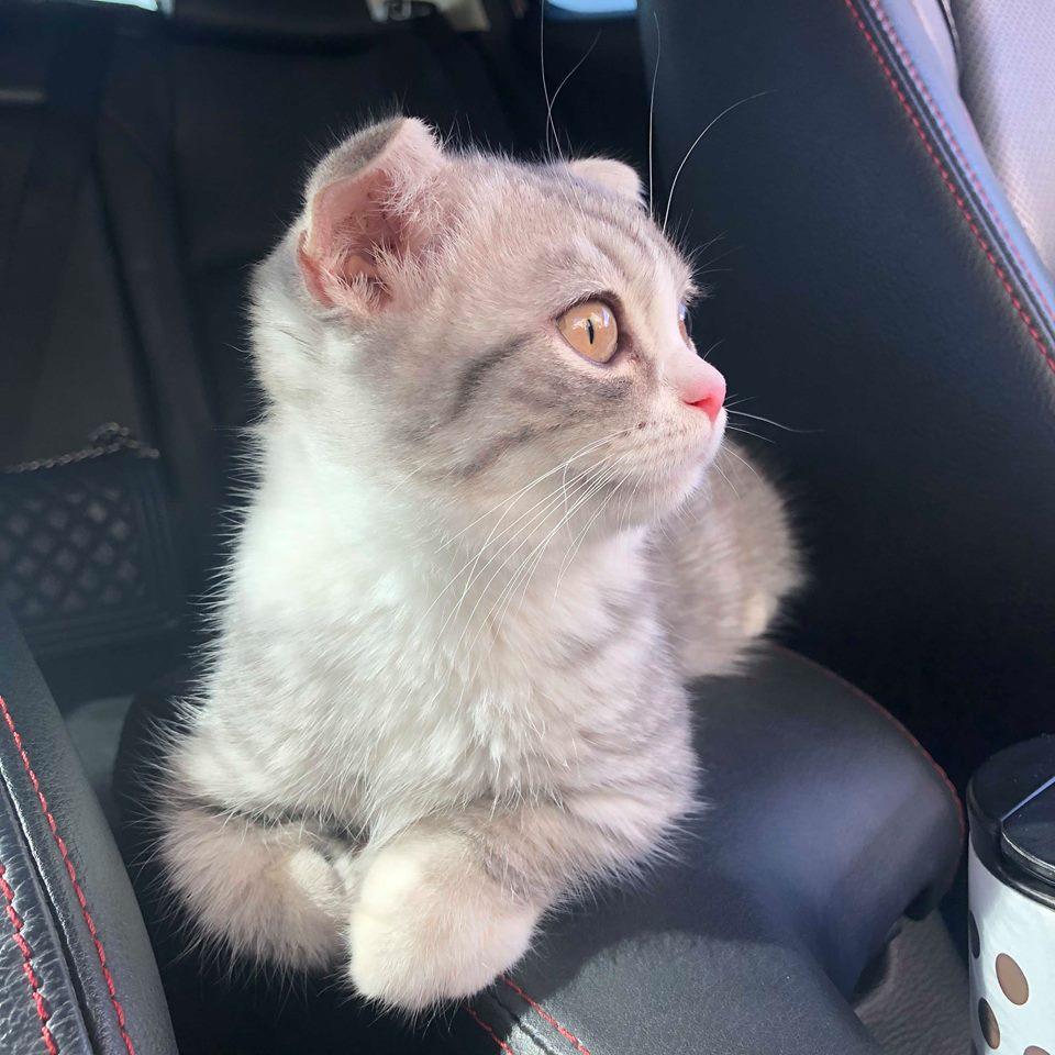 Maine Coon kitten console