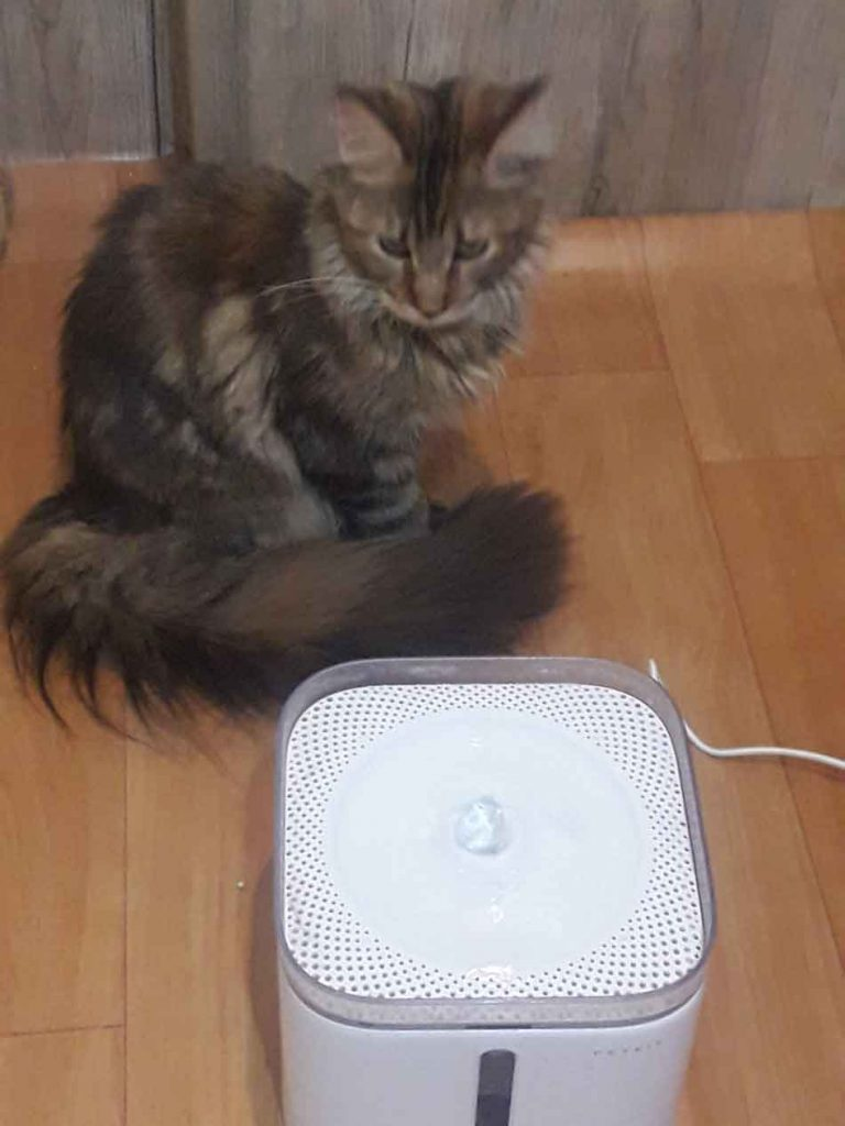 Altta the Maine Coon with petkit water fountain