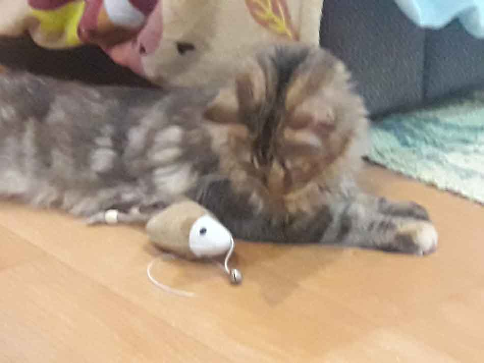 Alita Maine Coon with toy mouse