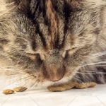 Why Your Maine Coon Kitten Needs A High Protein Diet