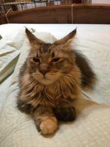 Alita on bed - Maine Coon
