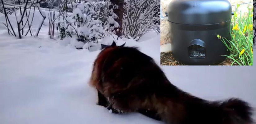 maine coon in snow heading for a kitty tube