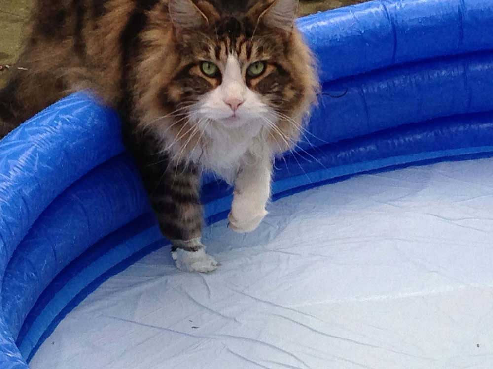 Maine Coon stepping into a paddling pool