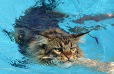 Do Maine Coons Like Water and Swim (The Catty Paddle)?