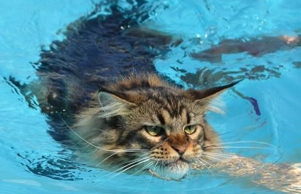 Maine Coon swimming close up