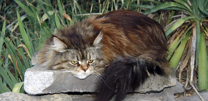 sick maine coon on rock