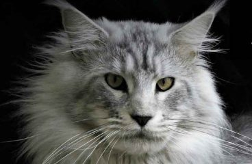 The Silver Maine Coon