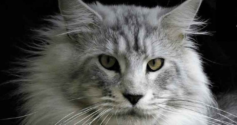 Silver Maine coon face